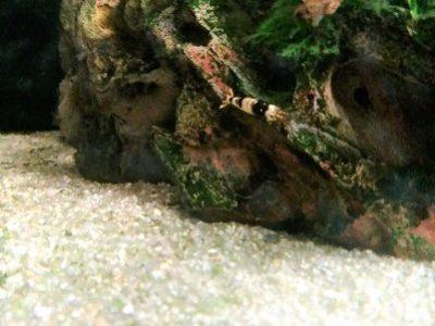 キューブガーデン60cm水槽 ヒメタニシ繁殖