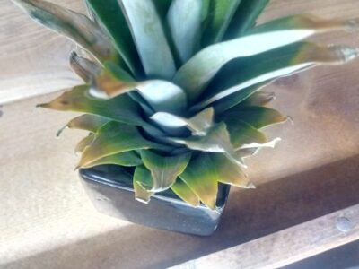 パイナップルの観葉植物化計画 4日目