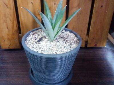パイナップルの観葉植物化計画 37日目