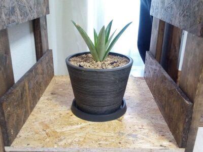 パイナップルの観葉植物化計画 42日目